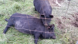 Underestimating the determination of a bored pig