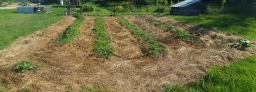 Using pigs and chickens to convert pasture to garden beds
