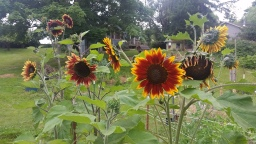Pastured Poultry > Free Range Chickens = Sanity + Sunflowers