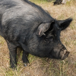 Growing up as farmers and processing our own pork