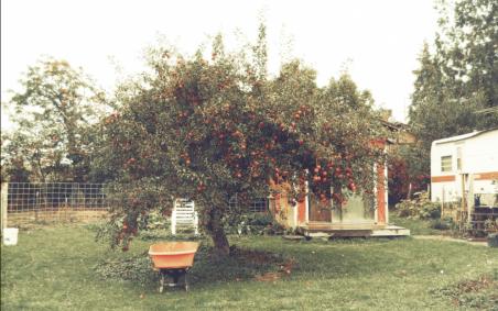 One of a dozen apple trees