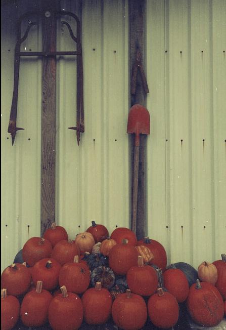 The pumpkin harvest