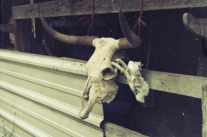 Mave, the longhorn