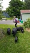 moving-pigs.jpg