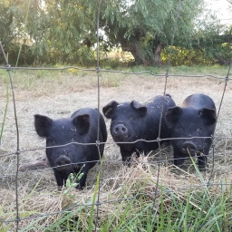American Guinea Hogs: the perennial pork