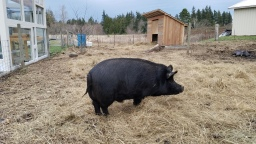 When Pigs Flop; Physical Therapy for our Boar